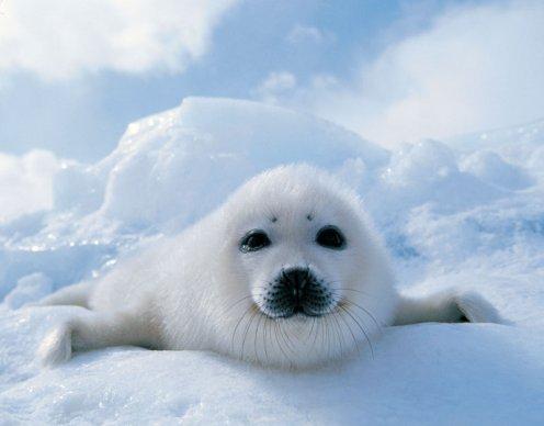 Protégeons baleines, manchots et phoques en Antarctique Seals3