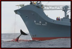 Anti-whalers find Japanese harpoon ship