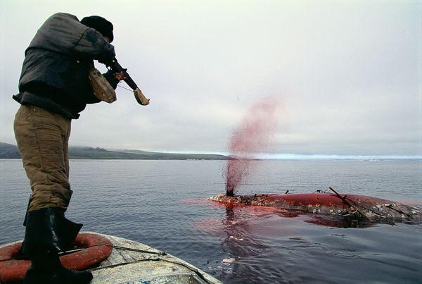 Fotos de ballenas con cuerno 88