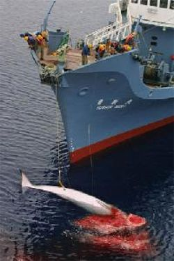 "The Amazon Pink Dolphin's Voice: Captain Paul Watson "" the consequences of successful intervention."""