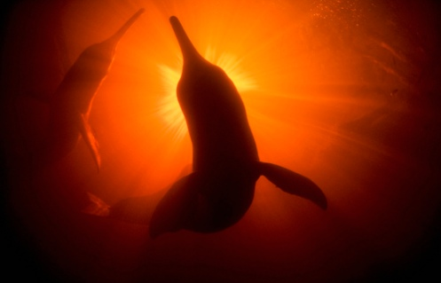 Amazon River Dolphins MM7675