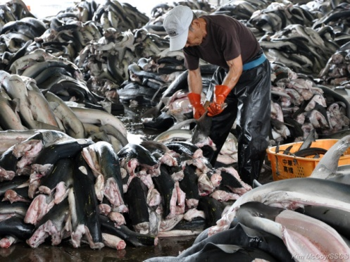 editorial-130618-1-2-Sea_shepherd_condemns_slaughter-large