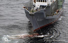 news-140411-1-090206_crew_aboard_the_Yushin_Maru_No_3,_fire_a_shotgun_to_kill_a_minke_whale-270w