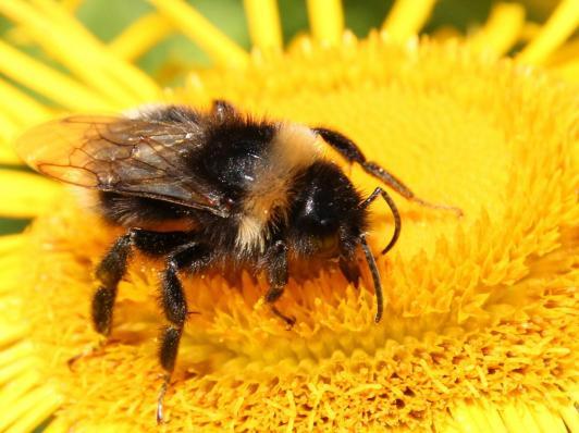 buff-tailedbumblebee-0