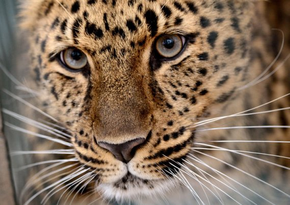 GERMANY-ANIMALS-LEOPARD