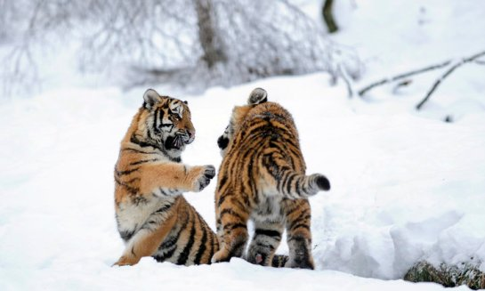 Amur tiger cubs Natalia and Vladimir play in the snow at the Highland Wildlife Park in Kingussie, Scotland