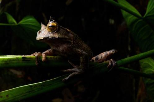 01-frog-rediscovered-ecuador-ah095-02-07.adapt.676.1.jpg