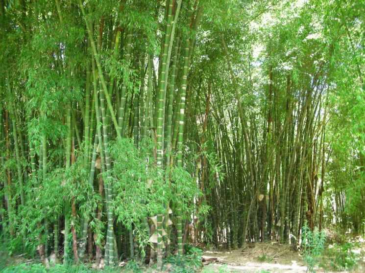 planta-de-bambu-guadua-angustifolia-D_NQ_NP_16682-MLM20125098342_072014-F.jpg